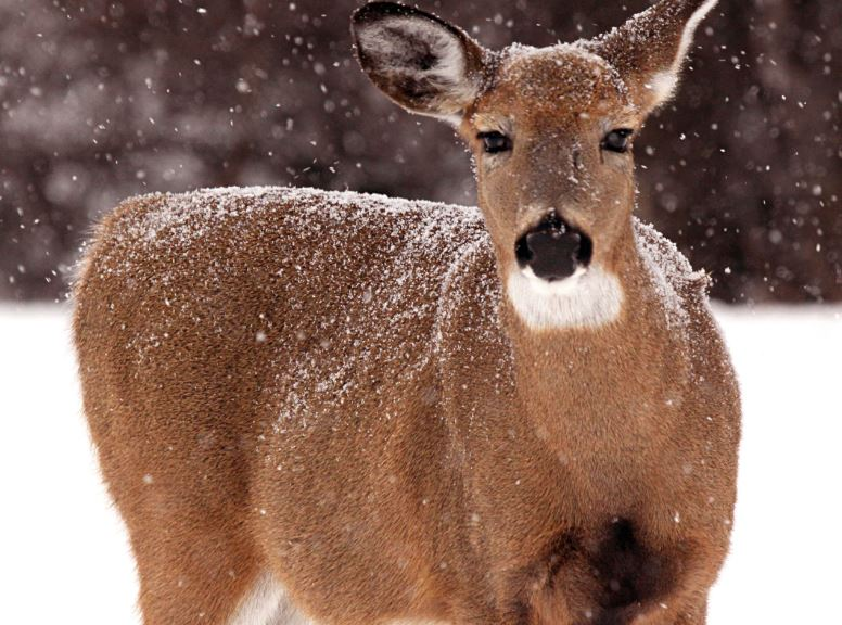 "Jim Low shares, ""With CWD, infection rates will soar and deer populations will decline until – like 80 years ago – white-tailed deer sightings are so rare, they make newspaper headlines.""  Joe Forma Photo"