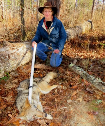 I've captured a healthy coyote with trapping methods that help control coyote groups, a growing concern for residential housing communities where the expanding coyote populations of America have demonstrated they prey on newborn fawns, house cats, small dogs, and other community pets.  Jill Easton Photo