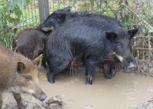 Hogs reproduce at an alarming and astonishing rate.  A female pig born on New Year's Day can be a grandmother by Christmas and can be responsible for 200 or more offspring in that time frame.