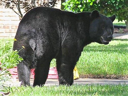 Black Bears are the only bear species that live in Florida, but their numbers are increasing and avoiding conflicts is a process being shared with all Floridians.  FWC Photo