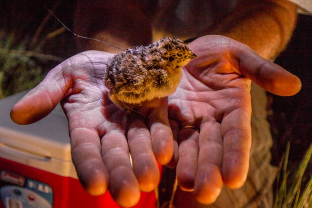 Researchers in Montana carefully attach a lightweight radio transmitter to this days-old sage grouse chick to monitor its survival. Kenton Rowe Photo