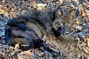 The next important question:  How many are too much?  Cause the only way to totally wipe coyotes out of your land is to fence the perimeter one foot down and eight feet high. Coyotes have an amazing ability to adapt to a changing world, but staying alive often puts them in conflict with humans and human needs.
