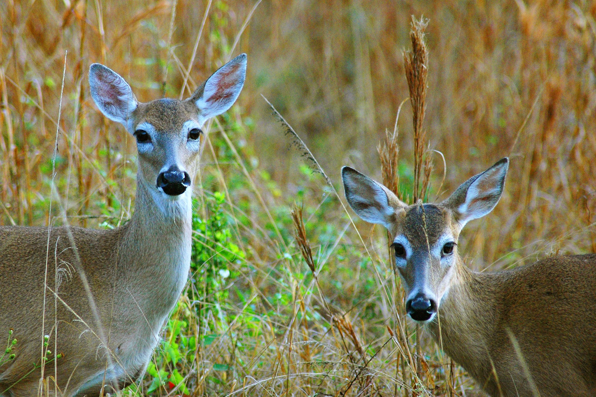 Whitetail Deer abound in several areas of Florida with managed hunting seasons established for WMA areas.  Photo Courtesy of Florida Fish & Wildlife (FWC)