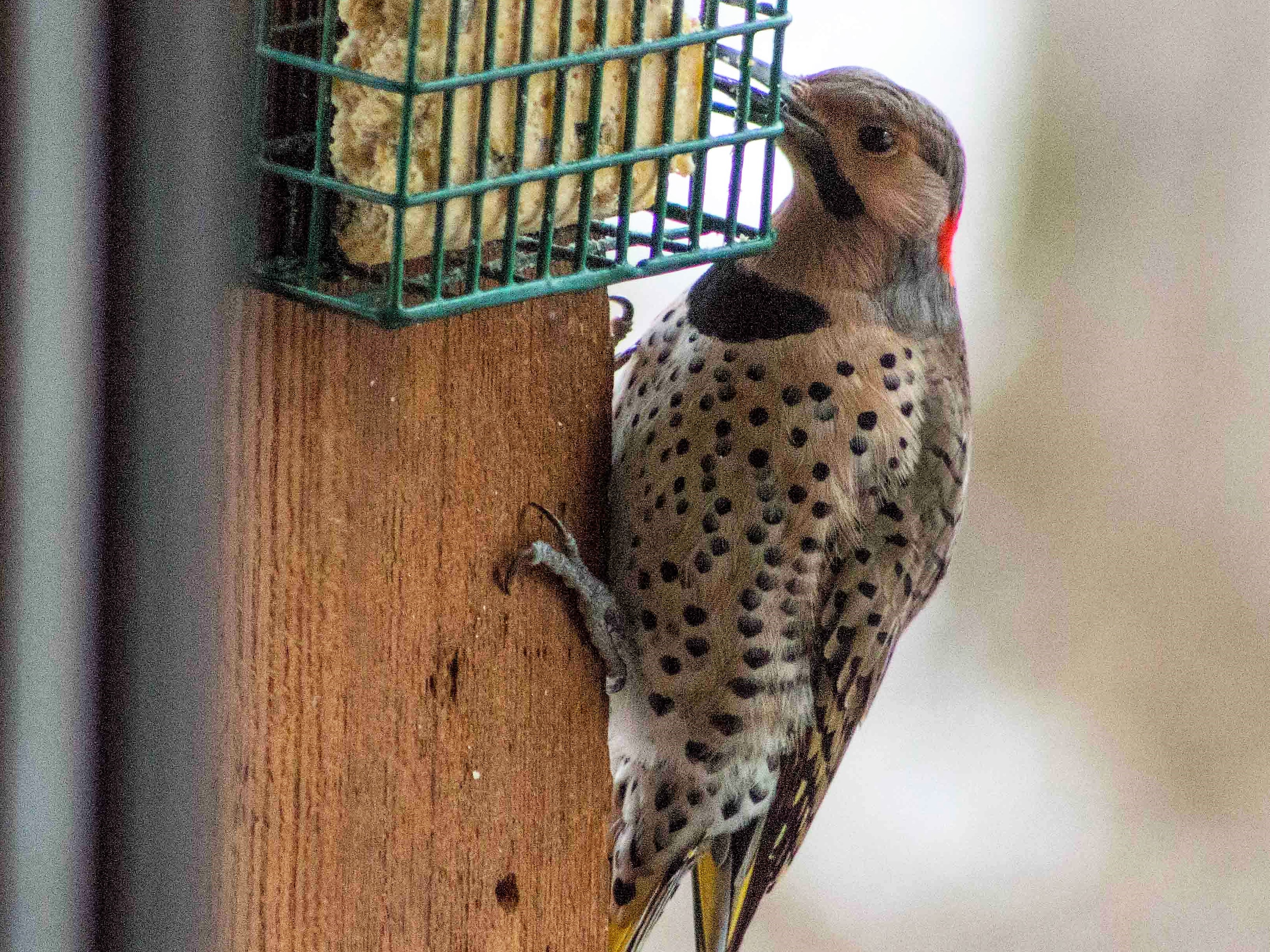 Flicker – In the eastern U.S., Male flickers have black moustaches in addition to the red nape patch and yellow feathers.