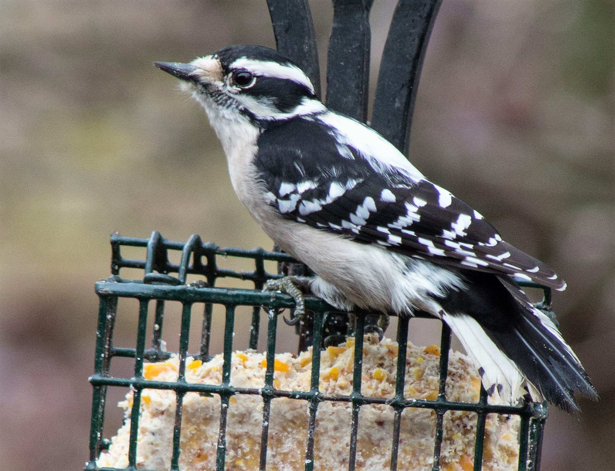 Downy – Smaller size and delicate beaks distinguish downy from hairy woodpeckers.  Otherwise, the two are very similar.