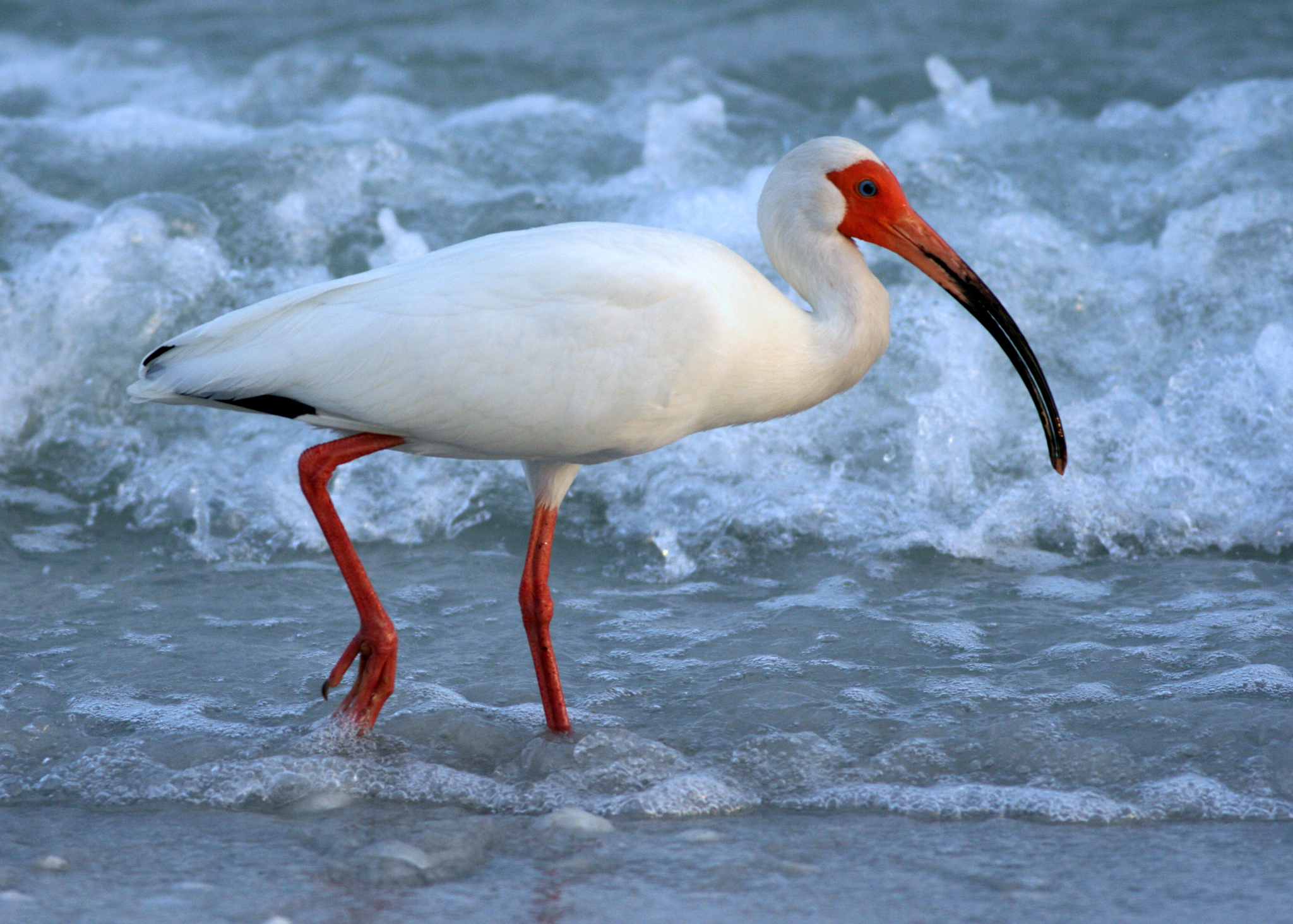 White Ibis in the Florida Ocean Surf