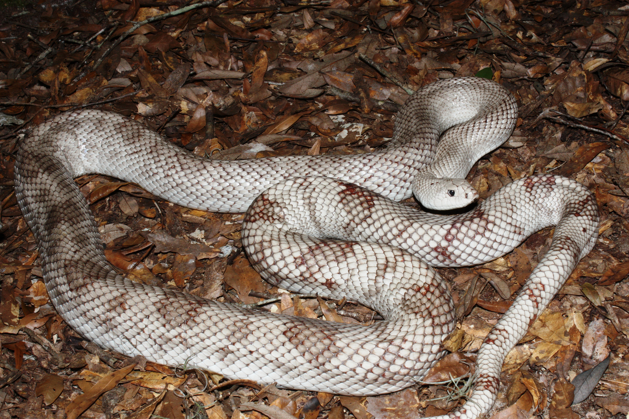For STO 01202017, CONSERVATION, picture 3of3, Florida Pine Snake