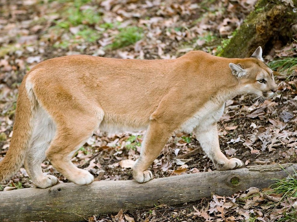 The discovery of a female mountain lion in Shannon County last month is a recent development in a 20-year saga. Mountain lions undoubtedly will continue to filter into Missouri from western states. The question is whether Missouri will find ways to live with this native species. (Missouri Department of Conservation photo)