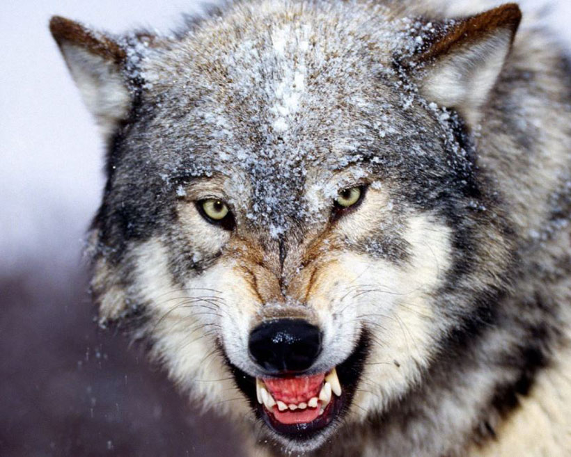 Want Excitement? Try a Winter Wolf Hunt