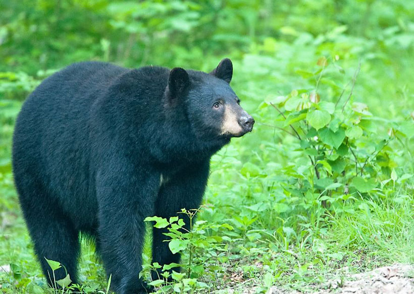 Bear Awareness Dawning in Missouri