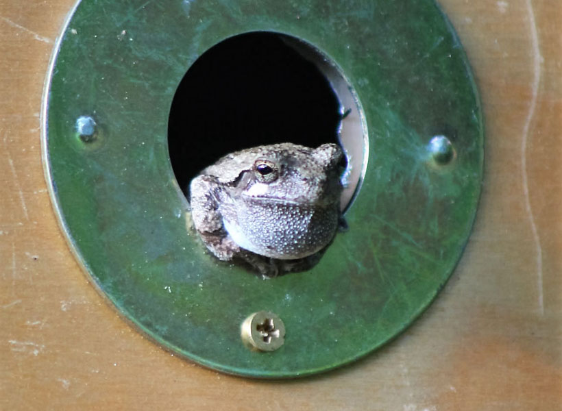 My Gray Tree Frog Guest - Warty Marty