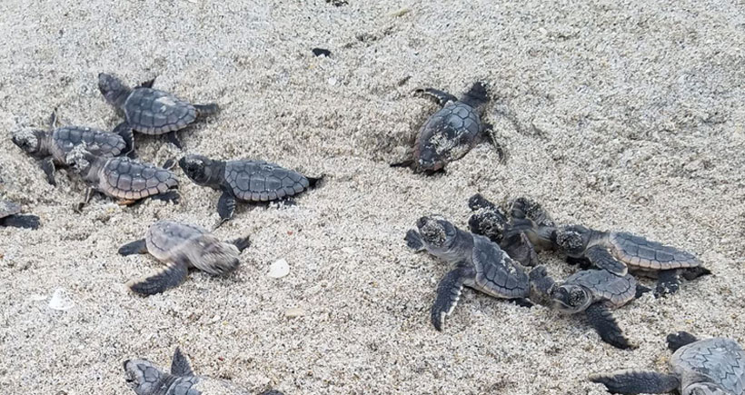 'Hands off!' Is Best for Sea Turtle Hatchlings