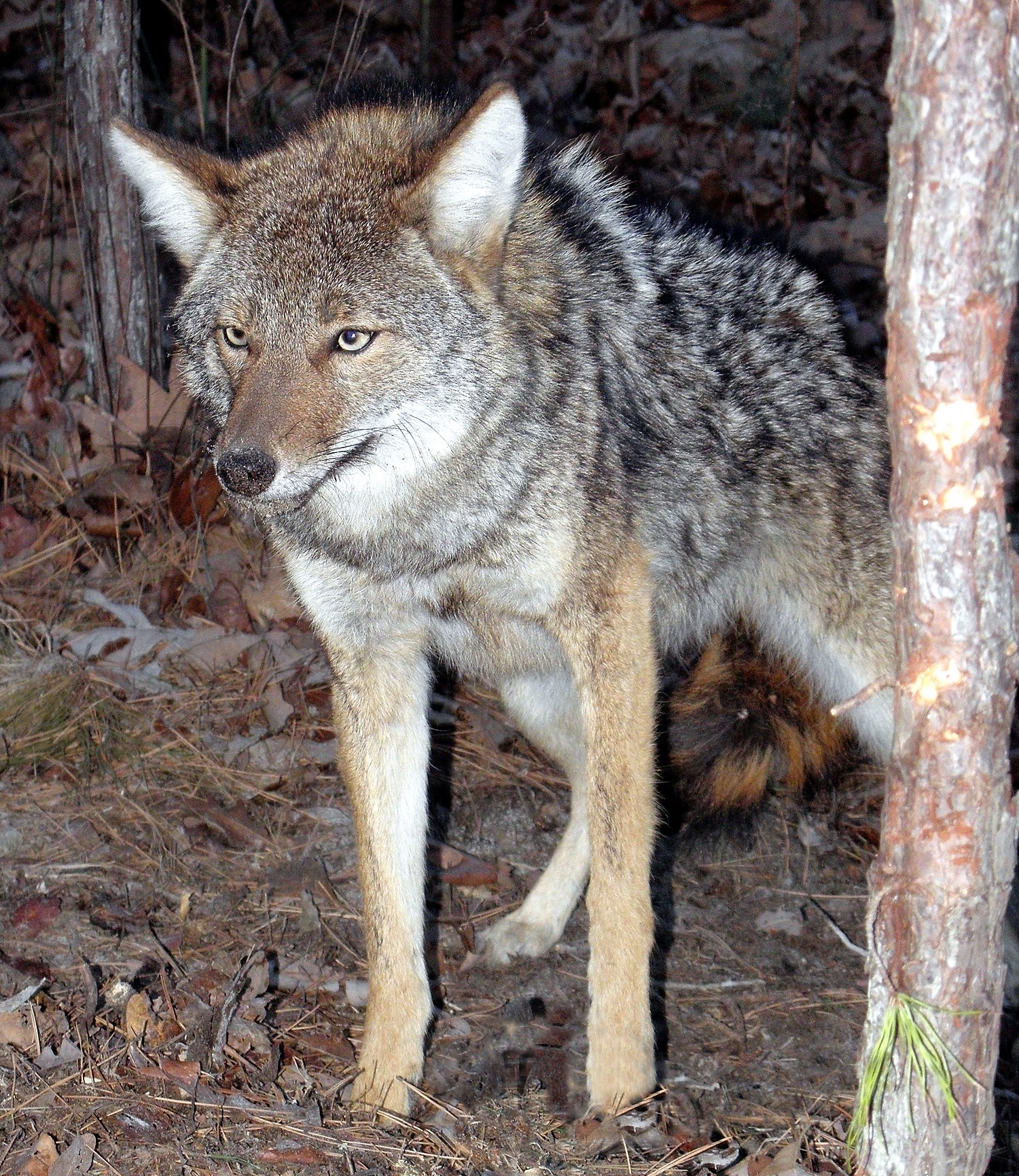 Coyote are Killers - both Good and Bad