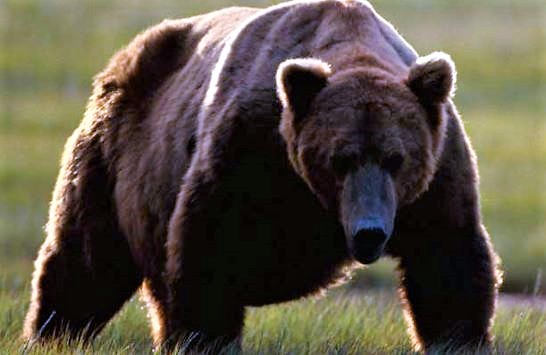 Yellowstone Grizzly Bear Delisting Delayed