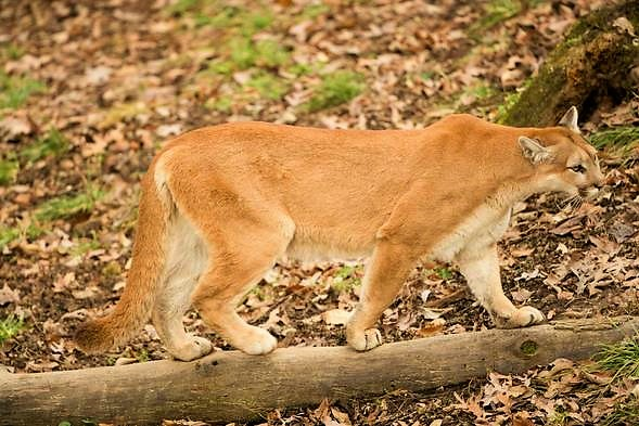 Mountain Lions in Missouri