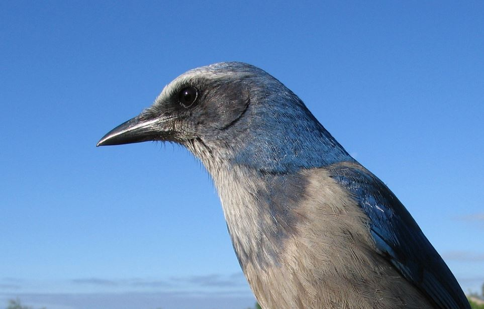 Florida Scrub-Jays in Festival Spotlight