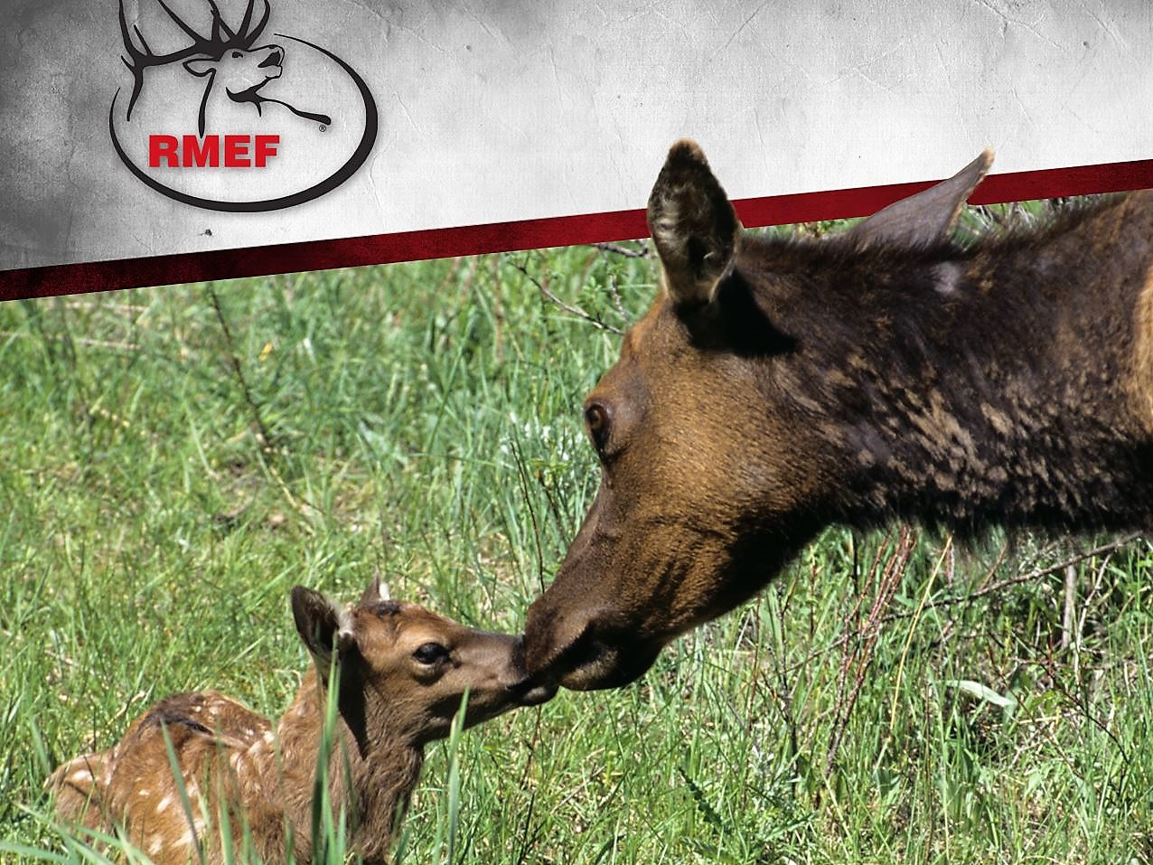 Colorado Elk Herd in Crosshairs