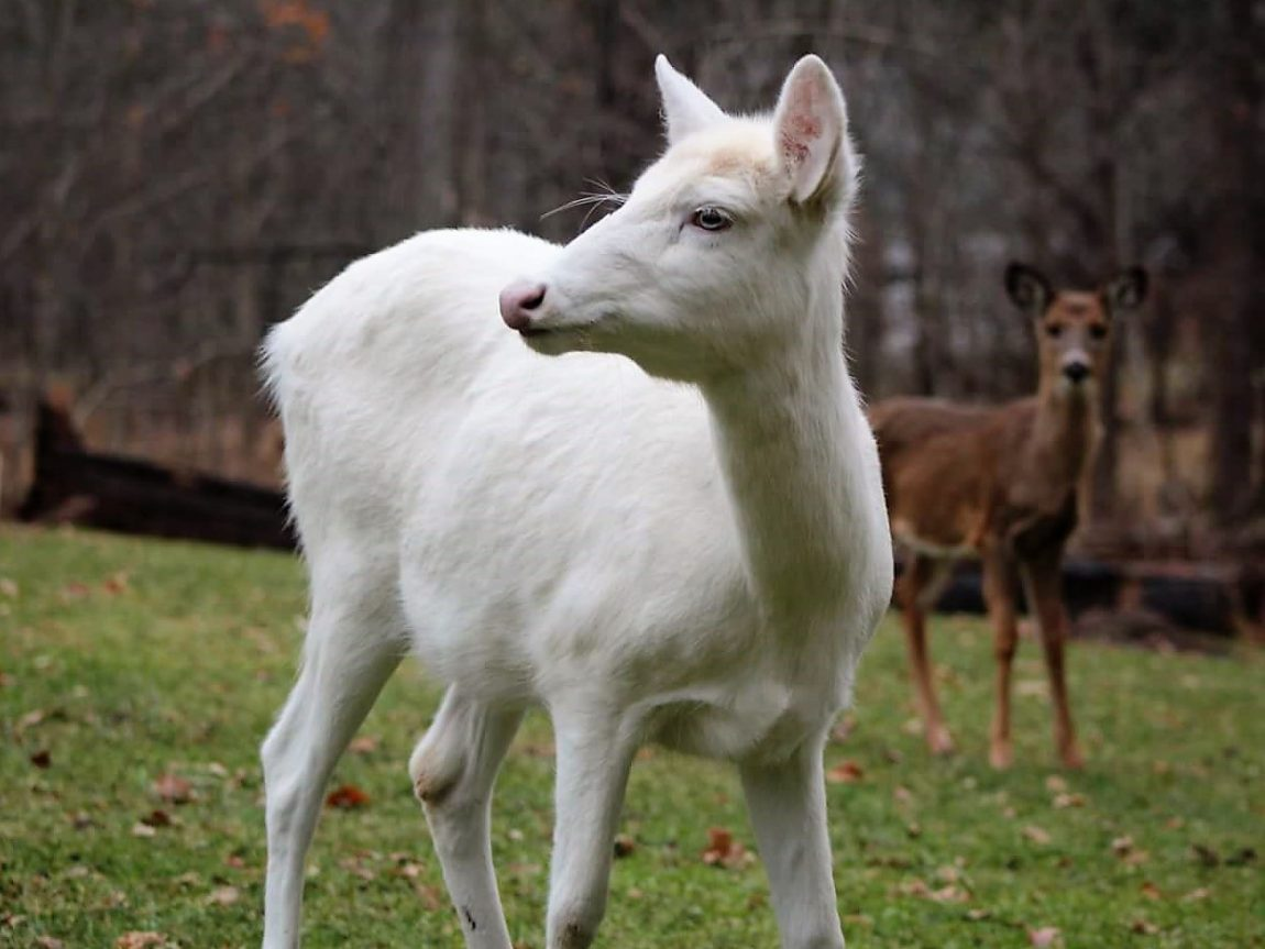 White Deer Foresee Good News for Future