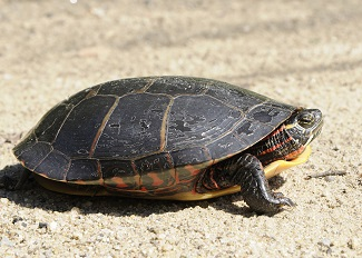 Give Turtles a BRAKE! Motorists Advised to Be Alert for Turtles Crossing Roadways