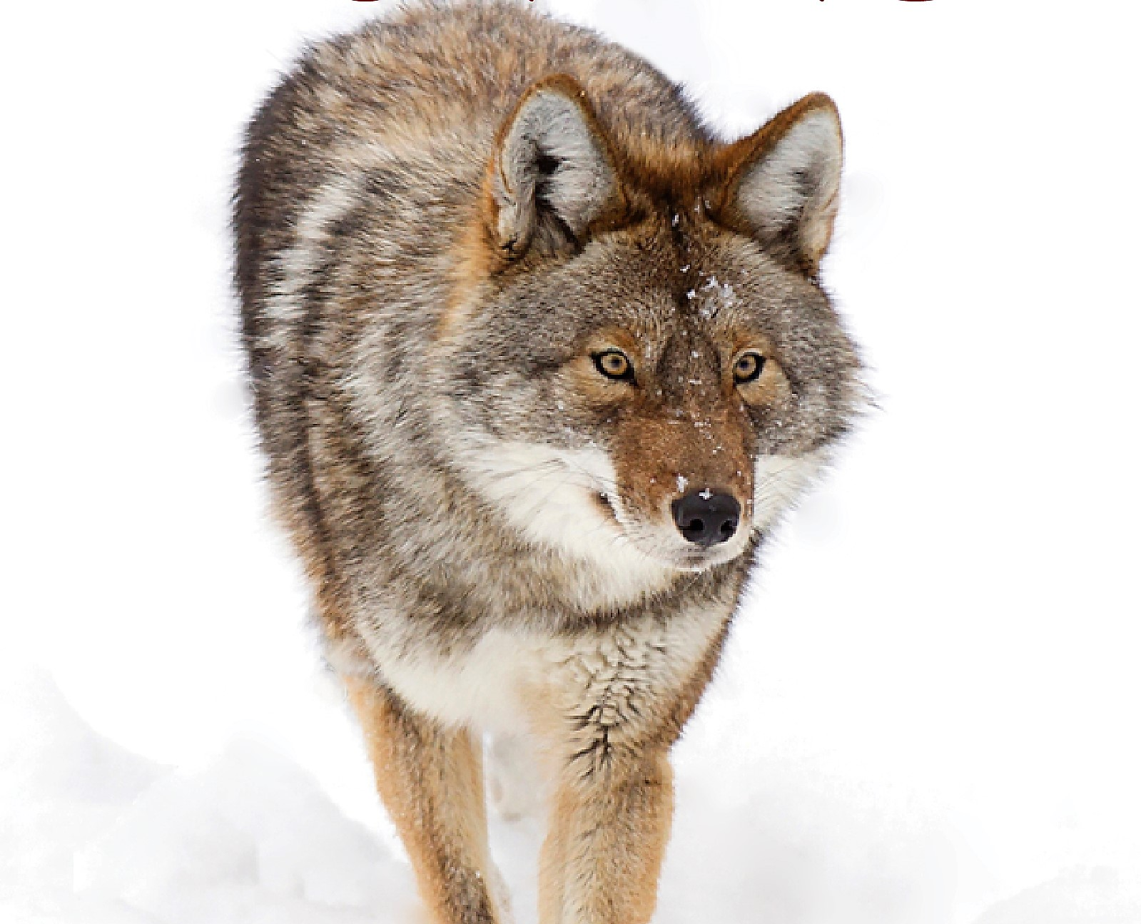 Master Coyote Hunting…the How-To, What-To and When-To