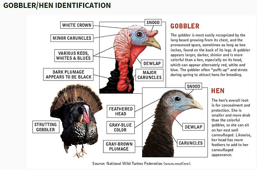 Turkey Hunting Lingo - Tom or Hen? Keep this handy pocket guide! FREE