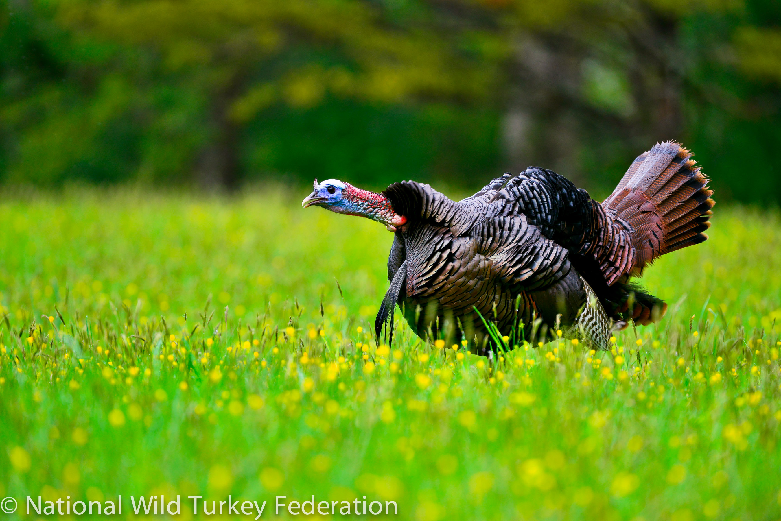 South Carolina passes new turkey regulations to bolster declining populations
