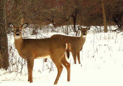 Overpopulation of Deer?