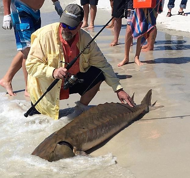 Rare Gulf Sturgeon caught in the Surf - near Orange Beach, Alabama