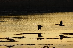 New York Canada Goose Seasons OPEN September 1st in many areas of State