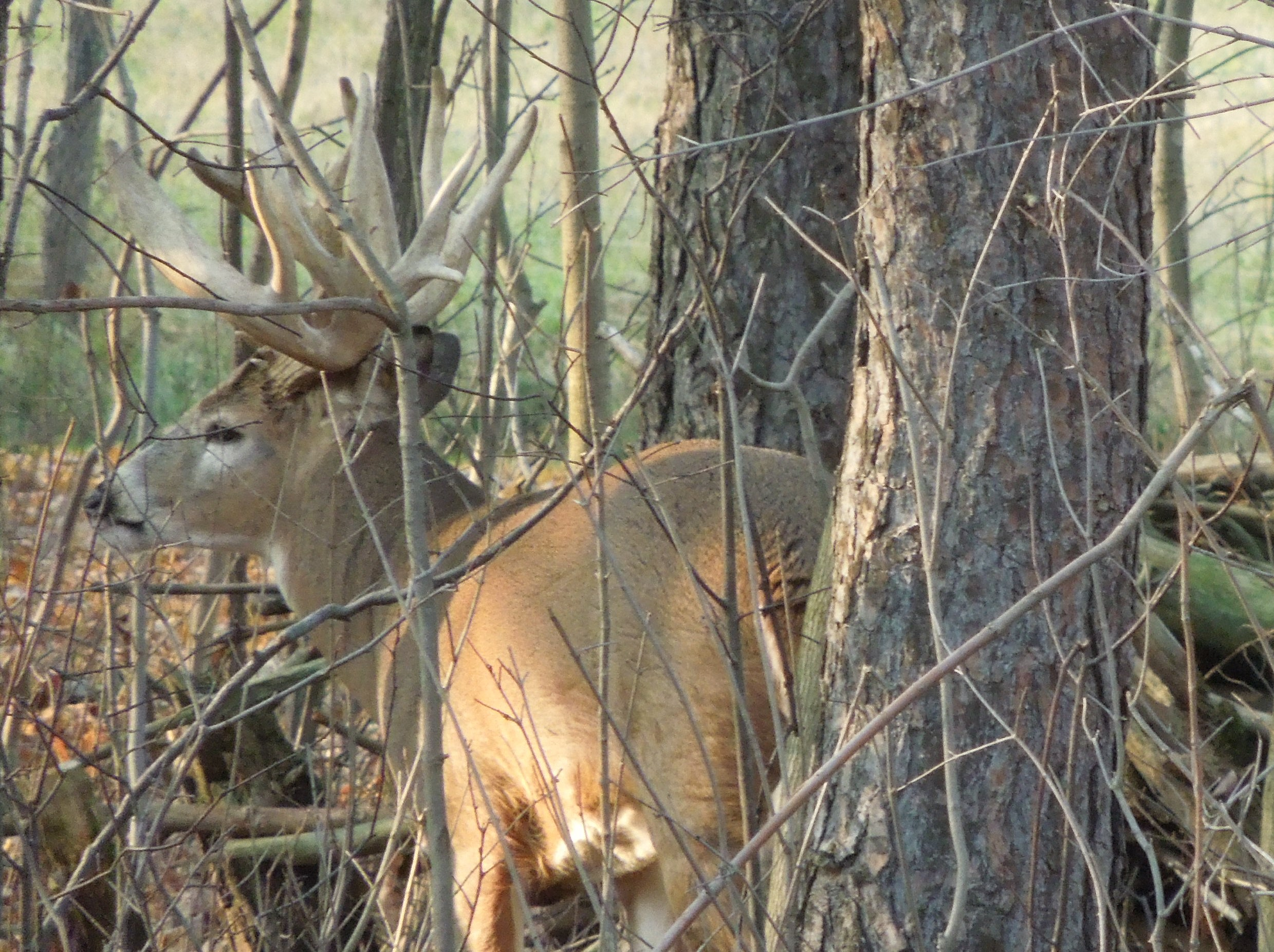 Hot Whitetail Doe's Search for Mr. Right Buck