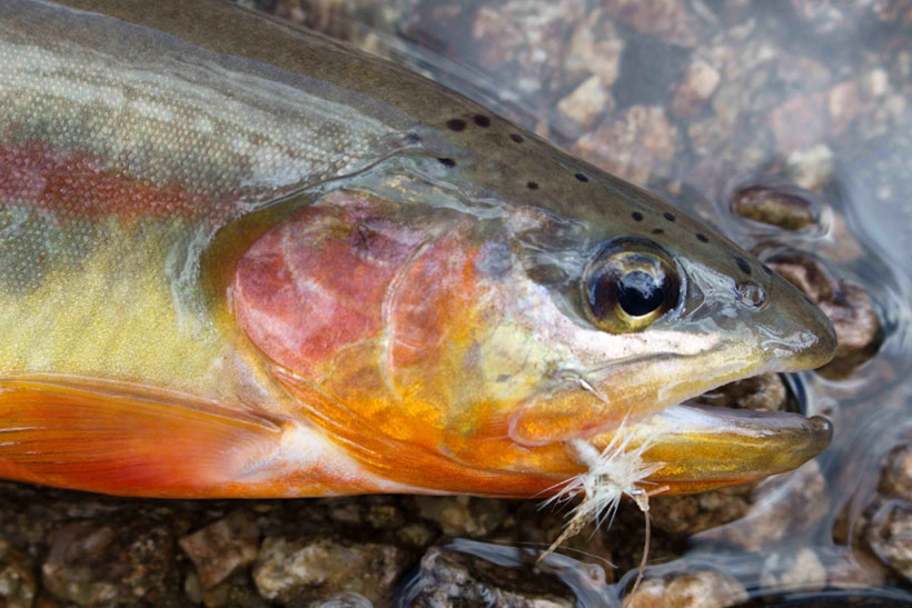 Golden Trout Mother Lode