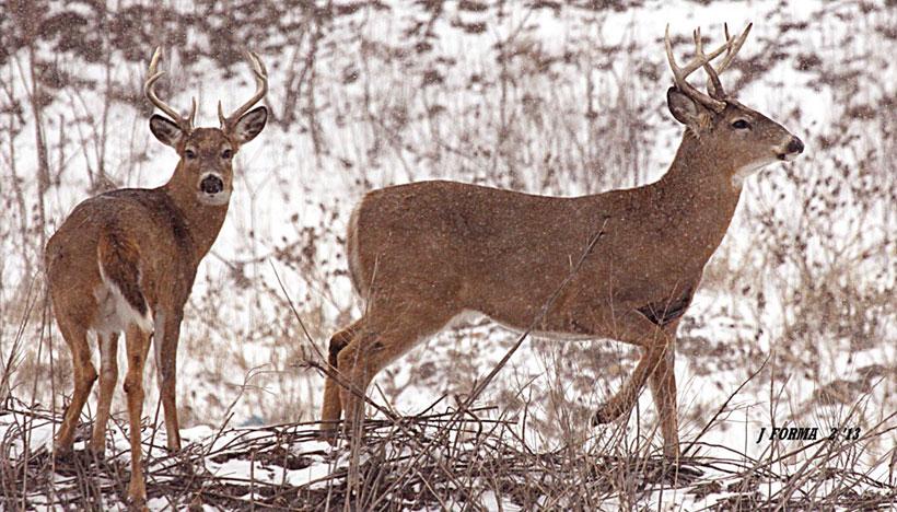New York State Whitetail Deer News