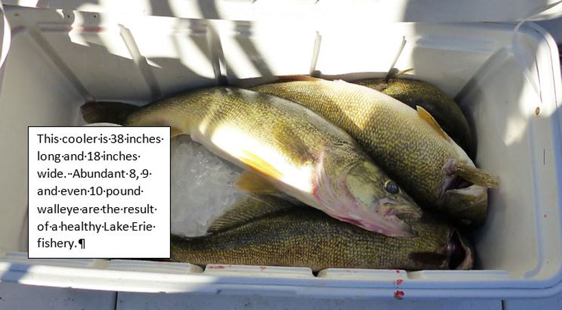 Hot Lake Erie Walleye – It's Late September!