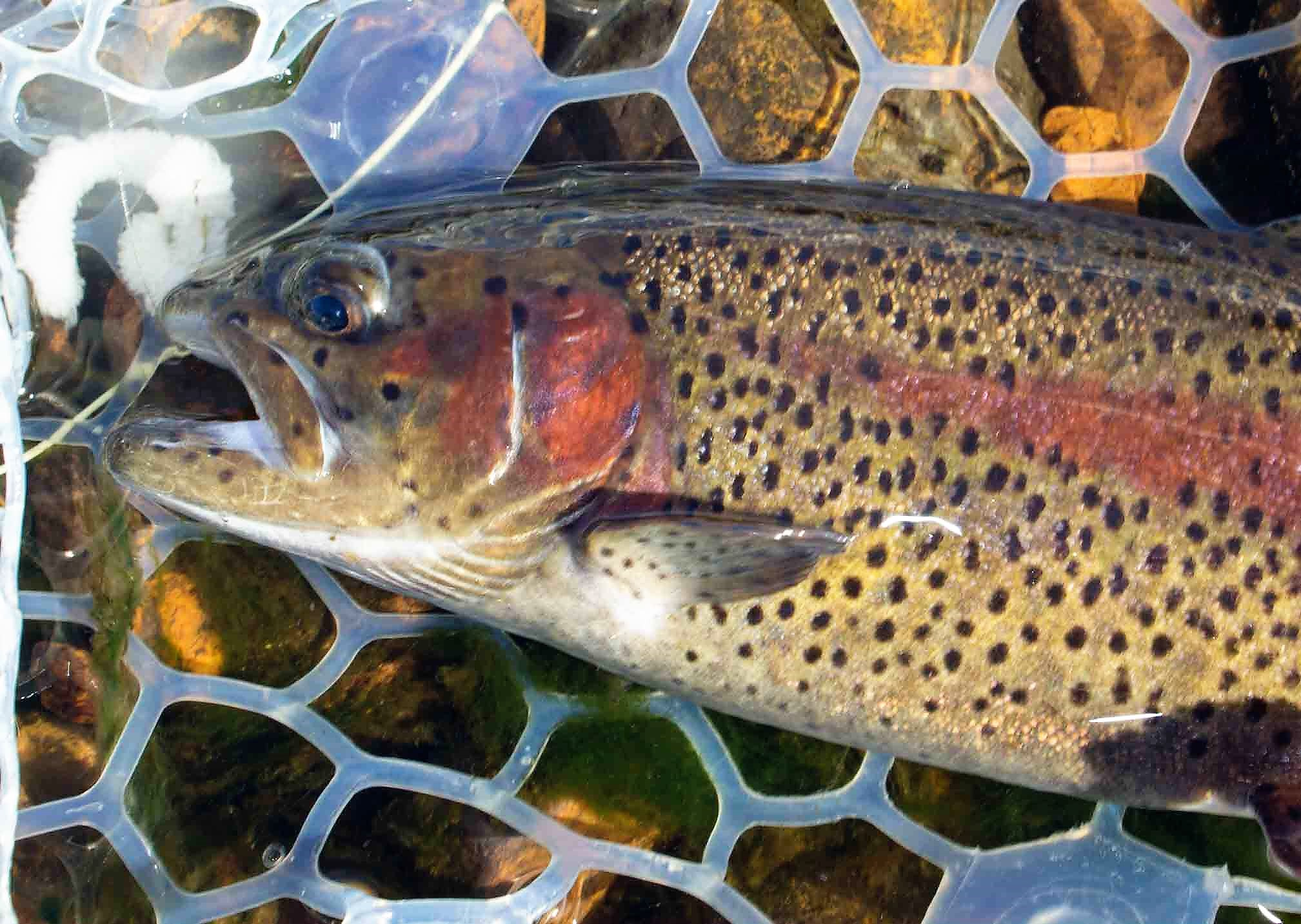 fa1cf76a4 Winter Trout – Another Kind of Madness!