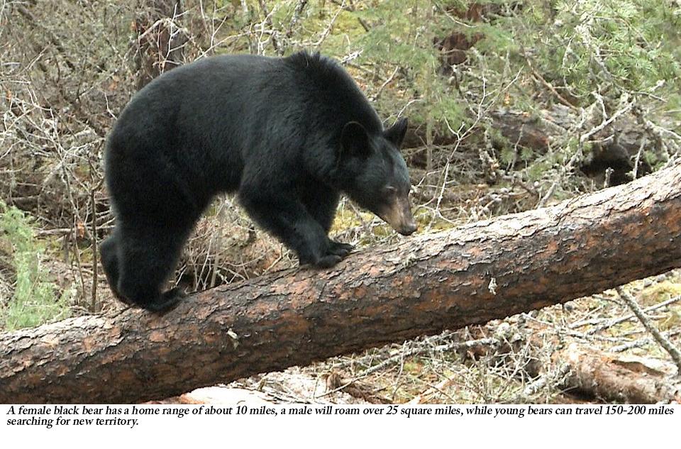 Managing Black Bear: the Mid-Atlantic's Apex Predator