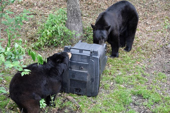 Florida Bears more ACTIVE this time of year