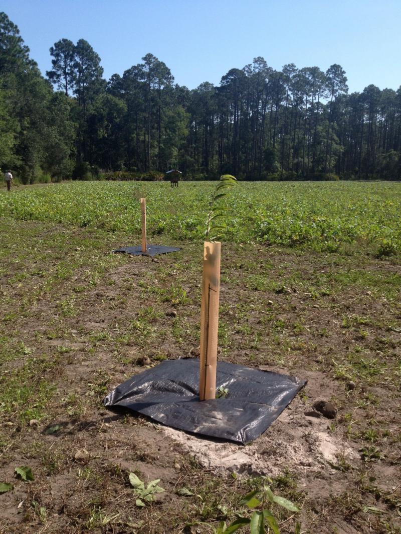 Chestnut Tree Food Plot Philosophy - Bucks Fight For It