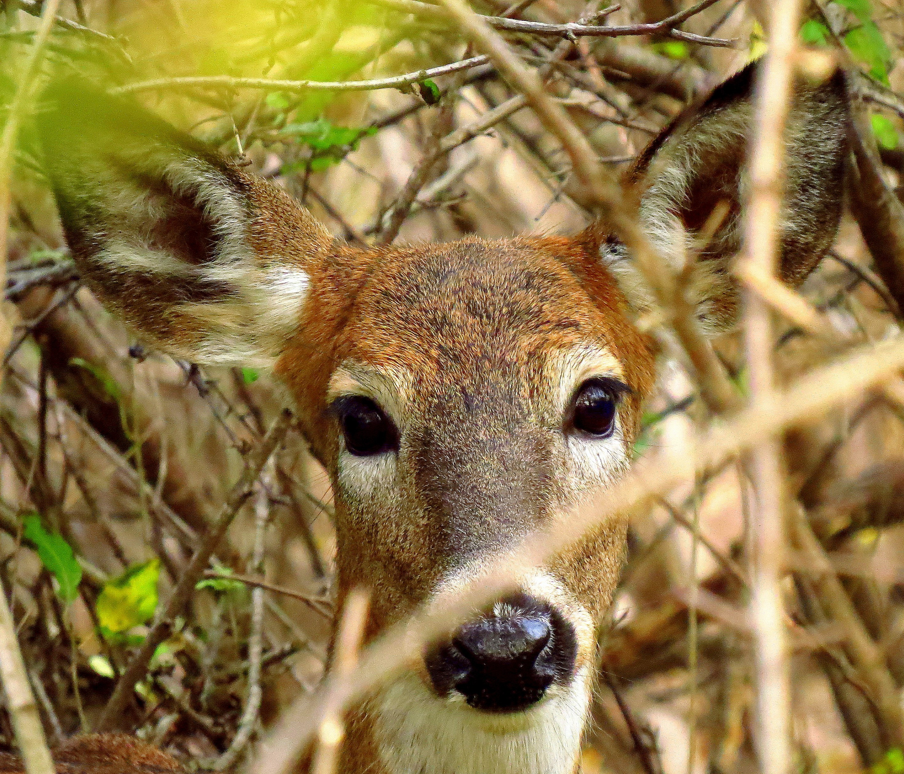 Deer Management: New York shares a plan for Urban and Suburban Communities