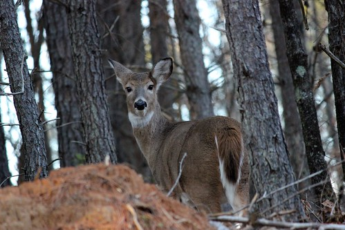 Sika Deer among 29% Opening Day Harvest Increase in Maryland