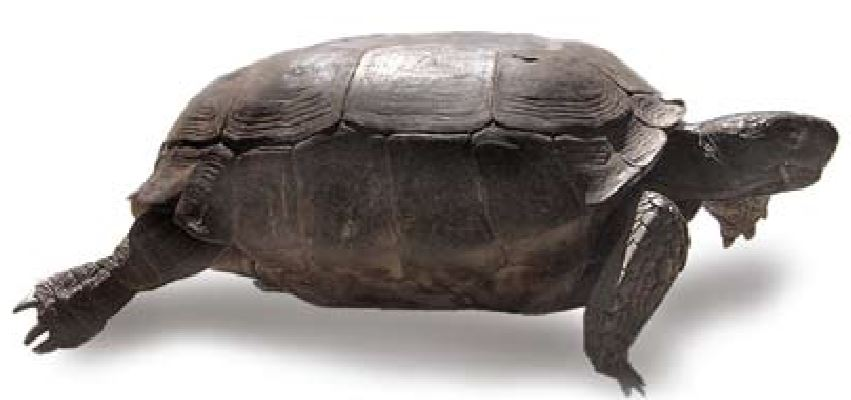 Gopher Tortoise Day in Florida, an Awareness-Celebration to Share With Others