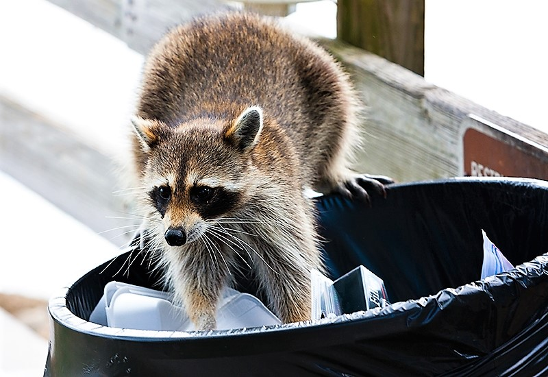 Sick Raccoon Near Your Home? What to Do.